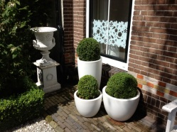 Buxus in white pots in front of my house